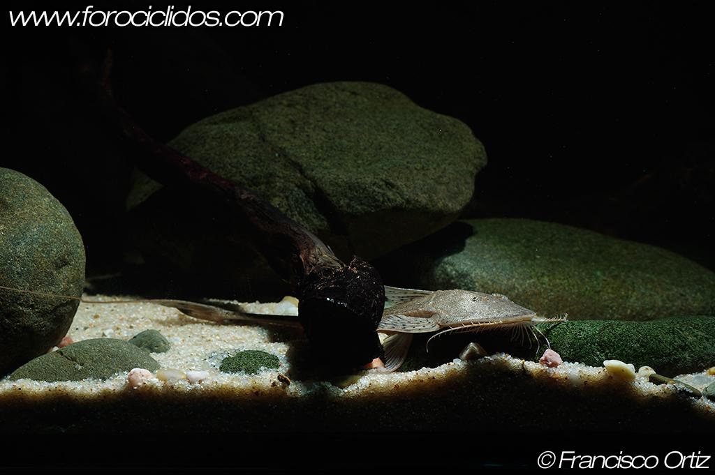 Planiloricaria cryptodon (Isbrücker, 1971) Planiloricaria